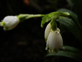 little snow drop by Pantii