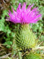 Thistle - Side View by Dontheunsane