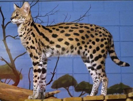 Serval Stock 1 by HOTNStock