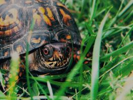 Box Turtle by tastybedsore