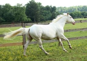 cremello stallion 8 by venomxbaby