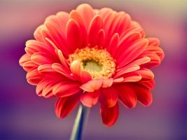 Gerbera daisy in dark violet by smoothmonster