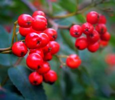 Red Rowan Berries by nectar666