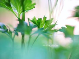 wispy parsley by kim-e-sens