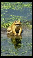 American Toad in the Pond by sej