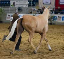 STOCK - 2014 Arabian Gala-203 by fillyrox