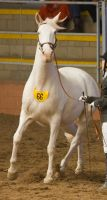 STOCK - 2014 Andalusian Nationals-197 by fillyrox