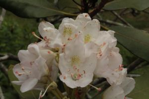White Rhododendron by jswis