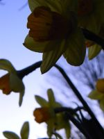 Shadowed Daffodils by Jade-Encrusted-Bugs