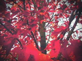 Red Maple by below-the-surf