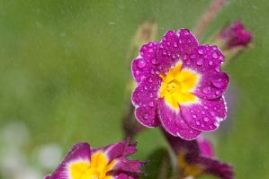Flowers in the rain by pqphotography