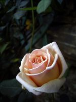 Pero - Another Rose by michelv