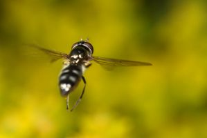 Hover in Flight2 by Alliec