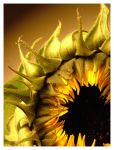 Sunflower: Colour by emocath