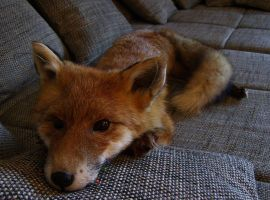 Relaxing on the couch by DeerfishTaxidermy