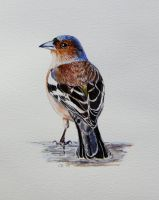 chaffinch by delph-ambi