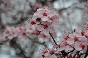 Plum blossoms in the sky by snoogaloo