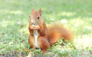 Red squirrel by aemiii