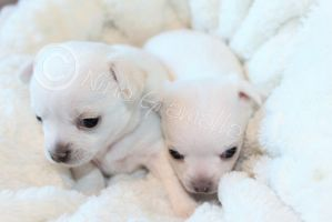 Chihuahua puppies 21.04.2015 by BlackAngelPromotion