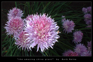 the amazing chive plant by redbandana