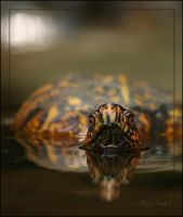 Eastern Box Turtle by AlinaKurbiel