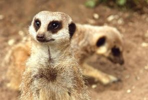 Meerkat close up. by Joker-laugh