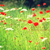 poppies by Orwald