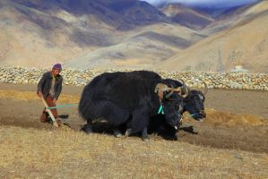 Labouring with yak by Suppi-lu-liuma