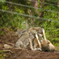Playful Wolfs by perost