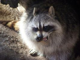 ..a raccoon by LidiaL