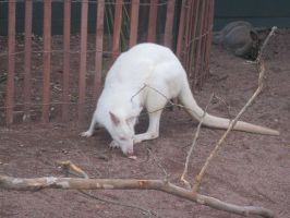 Stock: Albino Wallaby by equizotical