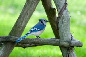 Bluejay by PeterDeBurger