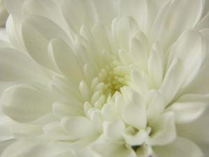 Chrysanthemum by MariaSemelevich