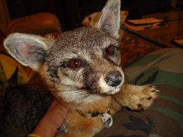 Artemis My Soft Mounted Grey Fox 2 by YukiChana