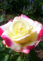 Bicolor rose by Ronron84