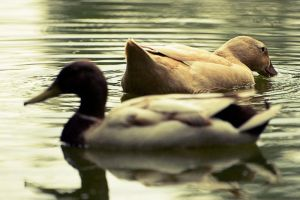 Ducks on a Pond by jfleck