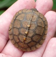 Baby Box Turtle by duggiehoo