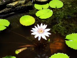 water lily by Xxdevious1xX