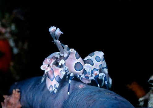 Harlequin Shrimp by LazyDugong