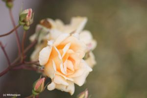 Antique Roses by WildWinyan