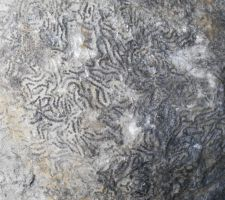 Stock Texture - Fossil Coral by rockgem