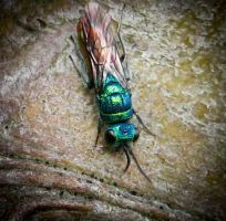 Ruby Tailed Wasp by iriscup