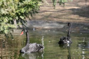 view to black swans by ingeline-art