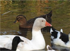 Ducks at Mandelmanns 3 by Kattvinge