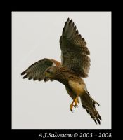 Hovering Kestrel by andy-j-s