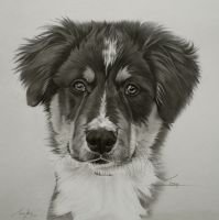 Commission - Sheepdog pup 'Ted' by Captured-In-Pencil
