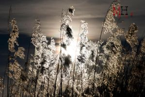 Plume Grass. by Trianglis