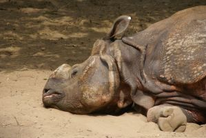 Rhino by Hetti-Photograph