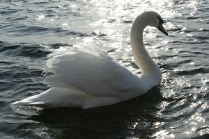 swan by sarthony