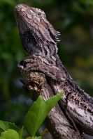 Dragon Through Zeiss 135mm by ShannonIWalters